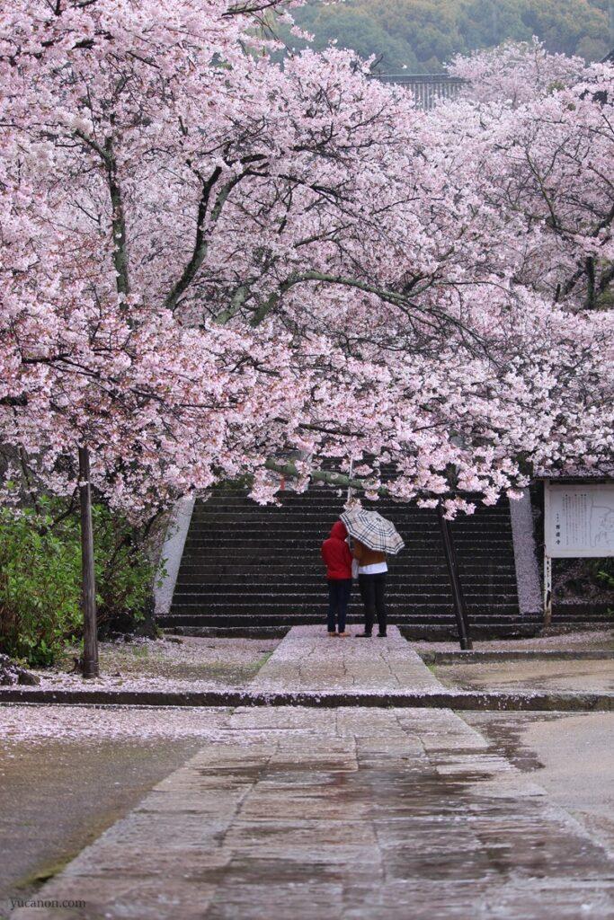 尾道西國寺の桜